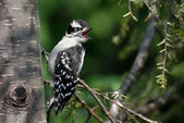Young Downy Woodpecker Calling for Parents — Stock Photo