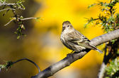 Pine Siskin Perched in Autumn — Stock Photo