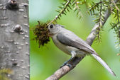 Titmouse with Nesting Material in Spring — Stock Photo