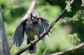 Young Blue Jay Begging To Be Fed — Stock Photo