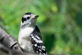 Young Downy Woodpecker Perched on a Branch — Foto de Stock