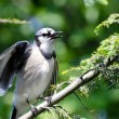 Stock Photo: Young Blue Jay Calling Out To be Fed