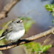 Dark Eyed Junco Perched in a Tree — Stock Photo #37139247