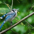 Calling Blue Jay in the Rain — Stock Photo