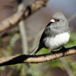 Dark Eyed Junco Perched in a Tree — Stock Photo #37139327