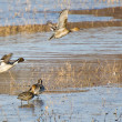 Northern Pintails Taking To Flight Off the Water — Stock Photo