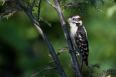 Downy Woodpecker in the Morning — Stock Photo