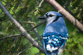 Blue Jay Perched in a Tree — Foto de Stock