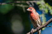 Male House Finch Perched in a Tree — Stockfoto