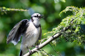 Young Blue Jay Calling Out To be Fed — Stock Photo