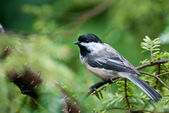 Chickadee Perched in a Tree — Stockfoto