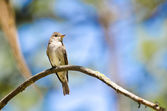 Western Wood-Pewee Perched in a Tree — 图库照片