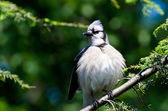 Young Blue Jay All Puffed Up — Foto de Stock