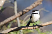 Black-Capped Chickadee Perched on a Branch — Stock Photo