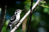 Hairy Woodpecker Perched in a Tree — Stock Photo