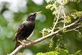 European Starling Perched in a Tree — Stok fotoğraf
