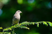 House Finch Perched in an Evergreen Tree — Stok fotoğraf
