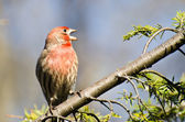 Male House Finch Perched on a Branch — Foto de Stock