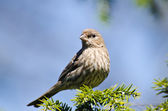 House Finch Perched in a Tree — Foto de Stock