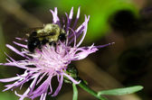 Bumble Bee on a Purple Flower — Stockfoto