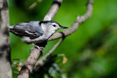 White-Breasted Nuthatch Perched in a Tree — Zdjęcie stockowe
