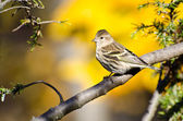 Pine Siskin Perched in Autumn — Foto de Stock