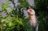 Male House Finch Perched on a Branch — Stok fotoğraf