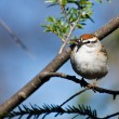Stock Photo: Chipping Sparrow Perched in Tree