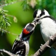 Stock Photo: Young Downy Woodpecker Being Fed By Its Father