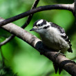 Stock Photo: Immature Downy Woodpecker Perched in Tree