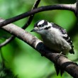 Immature Downy Woodpecker Perched in a Tree — Stock Photo