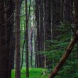 Stock Photo: Deep in Pine Forest