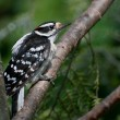 Stock Photo: Downy Woodpecker Perched in Tree
