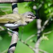 Red-Eyed Vireo Perched in a Tree — Stock Photo