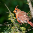 Molting Northern Cardinal — Stock Photo