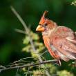 Stock Photo: Molting Northern Cardinal
