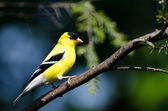 Male American Goldfinch Perched in a Tree — Stock Photo