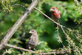 A Pair of House Finch Perched in a Tree — Stok fotoğraf