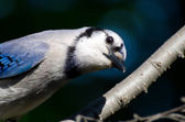 Curious Young Blue Jay Looking You in the Eye — Stock Photo