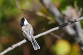 Black-Capped Chickadee Perched in a Tree — Foto de Stock