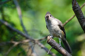 Tufted Titmouse Looking You in the Eye While Perched on a Branch — Stock Photo