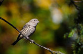 House Finch Perched in Autumn — Stock Photo