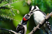 Young Downy Woodpecker Being Fed By Its Father — Stock Photo
