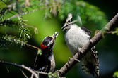 Young Downy Woodpecker Being Fed By Its Father — Stok fotoğraf