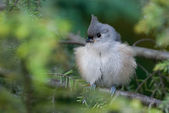 Young Titmouse all Puffed Up — Stok fotoğraf