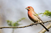 Male House Finch Perched on a Branch — Foto Stock