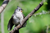 Young Tufted Titmouse Singing in a Tree — Stock Photo