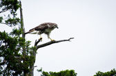 Red-Tailed Hawk Perched in Cedar Tree — Stok fotoğraf