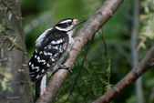 Downy Woodpecker Perched in a Tree — Foto Stock