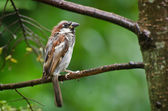 House Sparrow Perched in the Rain — Stock Photo